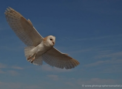 barn-owl-4138-northumberland-copyright-photographers-on-safari-com