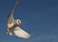 barn-owl-4139-northumberland-copyright-photographers-on-safari-com