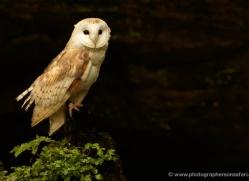 barn-owl-4143-northumberland-copyright-photographers-on-safari-com
