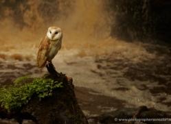 barn-owl-4144-northumberland-copyright-photographers-on-safari-com
