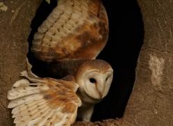 barn-owl-4145-northumberland-copyright-photographers-on-safari-com