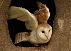 barn-owl-4146-northumberland-copyright-photographers-on-safari-com