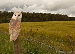 barn-owl-4148-northumberland-copyright-photographers-on-safari-com