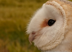 barn-owl-4149-northumberland-copyright-photographers-on-safari-com