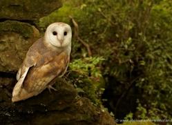 barn-owl-4150-northumberland-copyright-photographers-on-safari-com
