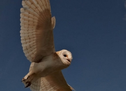 barn-owl-4155-northumberland-copyright-photographers-on-safari-com