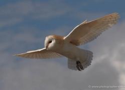 barn-owl-4159-northumberland-copyright-photographers-on-safari-com