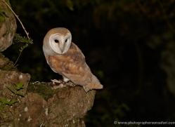 barn-owl-4160-northumberland-copyright-photographers-on-safari-com