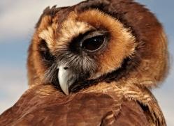 brown-wood-owl-4184-northumberland-copyright-photographers-on-safari-com