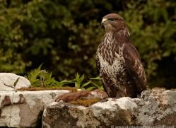 buzzard-4119-northumberland-copyright-photographers-on-safari-com