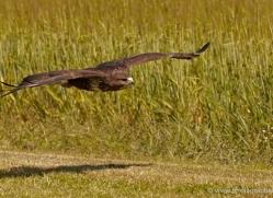 buzzard-4121-northumberland-copyright-photographers-on-safari-com