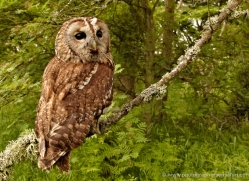 tawny-owl-4170-northumberland-copyright-photographers-on-safari-com
