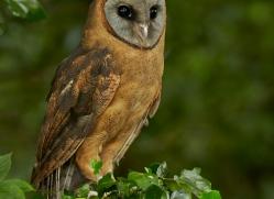 American Barn Owl 2014-1copyright-photographers-on-safari-com
