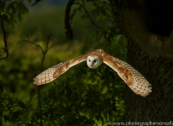 Barn Owl 2014-10copyright-photographers-on-safari-com