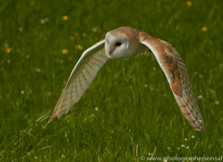 Barn Owl 2014-11copyright-photographers-on-safari-com