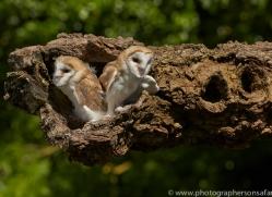 Barn Owl 2014-13copyright-photographers-on-safari-com