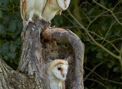 Barn Owl 2014-15copyright-photographers-on-safari-com
