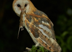 Barn Owl 2014-17copyright-photographers-on-safari-com