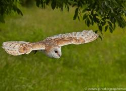 Barn Owl 2014-18copyright-photographers-on-safari-com