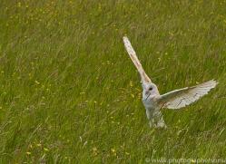 Barn Owl 2014-19copyright-photographers-on-safari-com