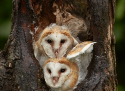 Barn Owl 2014-1copyright-photographers-on-safari-com