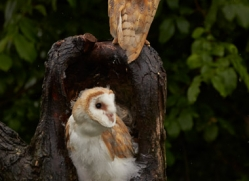 Barn Owl 2014-2copyright-photographers-on-safari-com