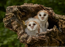 Barn Owl 2014-4copyright-photographers-on-safari-com