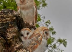 Barn Owl 2014-5copyright-photographers-on-safari-com