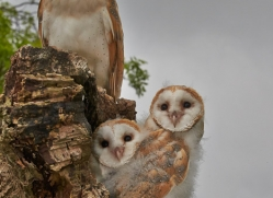 Barn Owl 2014-6copyright-photographers-on-safari-com