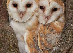 Barn Owl 2014-7copyright-photographers-on-safari-com