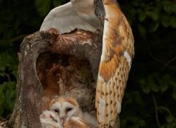 Barn Owl 2014-9copyright-photographers-on-safari-com