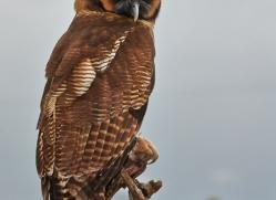 Brown Wood Owl 2014-1copyright-photographers-on-safari-com