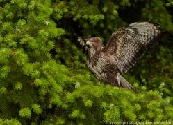 Common Buzzard 2014-1copyright-photographers-on-safari-com