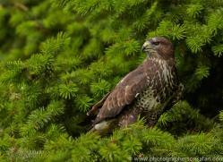 Common Buzzard 2014-3copyright-photographers-on-safari-com