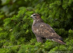 Common Buzzard 2014-4copyright-photographers-on-safari-com