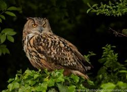 Eagle Owl 2014-1copyright-photographers-on-safari-com