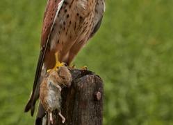 Kestrel 2014-1copyright-photographers-on-safari-com