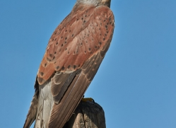 Kestrel 2014-2copyright-photographers-on-safari-com