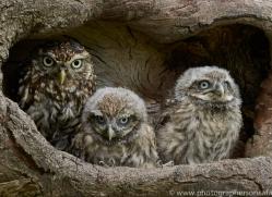 LITTLE Owl 2014-10copyright-photographers-on-safari-com