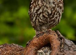 LITTLE Owl 2014-1copyright-photographers-on-safari-com