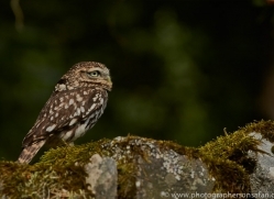 LITTLE Owl 2014-2copyright-photographers-on-safari-com