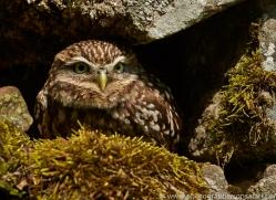 LITTLE Owl 2014-3copyright-photographers-on-safari-com
