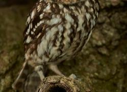 LITTLE Owl 2014-4copyright-photographers-on-safari-com