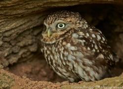 LITTLE Owl 2014-6copyright-photographers-on-safari-com