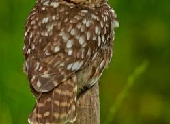 LITTLE Owl 2014-7copyright-photographers-on-safari-com