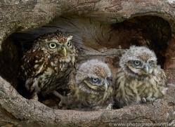 LITTLE Owl 2014-8copyright-photographers-on-safari-com