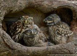 LITTLE Owl 2014-9copyright-photographers-on-safari-com