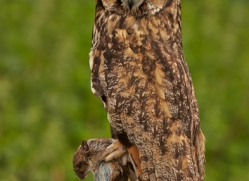 Long Eared Owl 2014-1copyright-photographers-on-safari-com