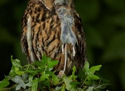 Long Eared Owl 2014-3copyright-photographers-on-safari-com