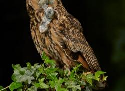 Long Eared Owl 2014-4copyright-photographers-on-safari-com